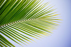 Coconut frond Stock Photography