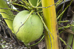 Coconut fruit. With closed up royalty free stock photography
