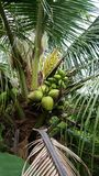 Coconut. Fruit food garden tree Royalty Free Stock Images