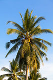 Coconut Fruit on palm tree Royalty Free Stock Photography