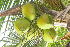 Coconut fruit and tree Stock Images