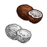 Coconut fruit of tropical palm sketch, food design. Coconut fruit sketch of tropical coconut palm. Whole and half of exotic nut isolated icon of healthy ripe Stock Photos