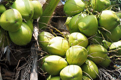 Coconut fruits Stock Images