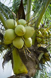 Coconut Fruits Royalty Free Stock Photo