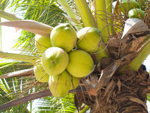 Coconut fruits Stock Image