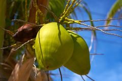 Coconut fruits hanging from palm tree. In Caribbean sea Stock Photos