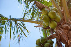 Coconut fruits on palm tree Stock Photos