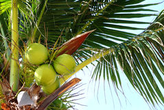 Coconut fruits Stock Photography
