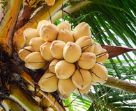 Coconut fruits on the tree Royalty Free Stock Photography
