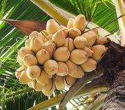 Coconut fruits on the tree Stock Photos