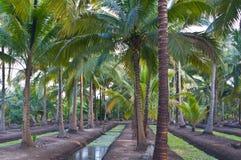 Coconut garden. Coconut palm garden in Thailand Royalty Free Stock Photos