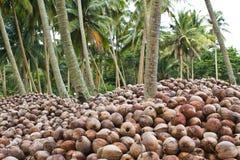 Coconut garden Stock Image