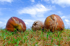 Coconut on green grass at the shore under cloudy and blue sky. Background Royalty Free Stock Photo