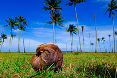 Coconut on green grass at the shore under cloudy and blue sky. Background Stock Images