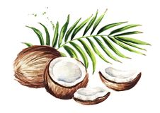 Coconut with green leaves. Watercolor hand drawn illustration isolated on white background. Coconut with green leaves. Watercolor hand drawn illustration vector illustration