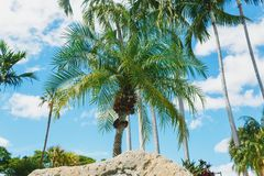 Coconut green palm trees under the sun, tropical exotic beautiful background. Summer, holidays, luxury resort, tourism vacation. Concept royalty free stock images
