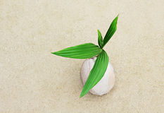 Coconut with green sprout Royalty Free Stock Photography