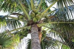 Coconut. Green coconut on the tree Royalty Free Stock Photo