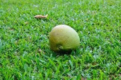 Coconut on ground. Thai coconut lying on the ground Royalty Free Stock Photos