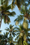 A coconut grove Royalty Free Stock Photo