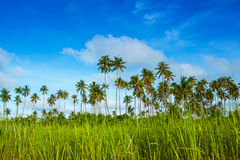 Coconut grove. Clumps of coconut trees that thrives on an island Stock Photos