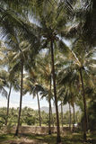 A coconut grove in India Stock Image