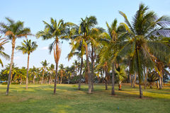 Coconut grove. The landscape of coconut grove royalty free stock photos
