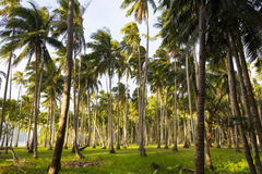 Coconut grove Royalty Free Stock Photography