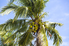 Coconut grove with mature coconuts Royalty Free Stock Images