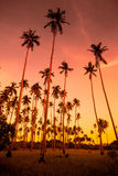 Coconut grove. At sunset Royalty Free Stock Images