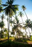 Coconut grove under blue sky royalty free stock photo