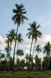 A coconut groves on blue sky background Royalty Free Stock Image