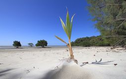 Coconut growing. A coconut, cocos nucifera, germinates on a white sandy beach in far north Queensland, Australia Royalty Free Stock Images