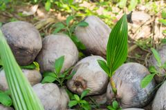 Coconut is growing up,Sapling Coconut and nature background. royalty free stock photography