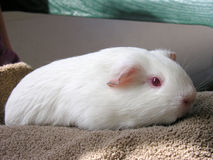 Coconut the guinea pig. A pink eyed white guinea pig relaxes on a towel Stock Image