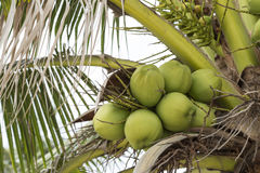 Coconut haning on coconut tree on the beach Royalty Free Stock Image