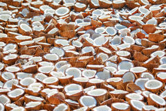 Coconut Harvest. Hundreds of coconuts laying out to dry in the sun Stock Photography