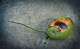 Green coconut with hole on ground. Coconut with hole gnawed by squirrel royalty free stock images