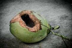 Green coconut with hole on ground. Coconut with hole gnawed by squirrel stock images
