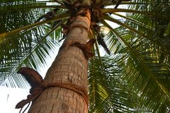 Coconut husks on coconut tree. Coconut husks tied with coir rope around the trunk of the coconut palm to facilitate as step to climb the tree to pluck coconuts Stock Images