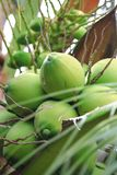 Coconut. The coconut is known for its great versatility as seen in the many uses of its different parts and found throughout the tropics and subtropics.[5] Stock Images
