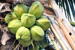 Coconut koh Samui Stock Image