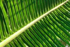 Coconut Leaf Royalty Free Stock Photography