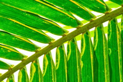 Coconut leaf. Green Coconut Leaf showing beautiful pattern Stock Images