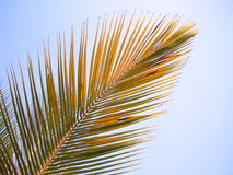 Coconut leaf. In sun shine Royalty Free Stock Image