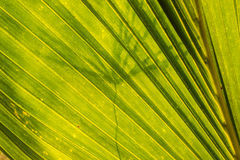 Coconut leaf. For background is back sun light Royalty Free Stock Image