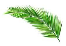 Coconut leaf. Green leaf, summer Royalty Free Stock Photos