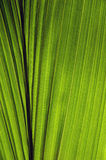 Coconut leaf. Close up of the coconut leaf Royalty Free Stock Photo