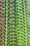 coconut leaf Stock Images