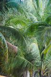 Coconut leaf background in Thailand. Beautiful coconut leaf background in Thailand Stock Images